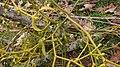 Mistletoe tree joint.jpg