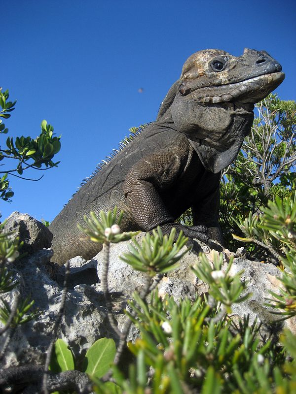 Mona ground iguana - Wikiwand