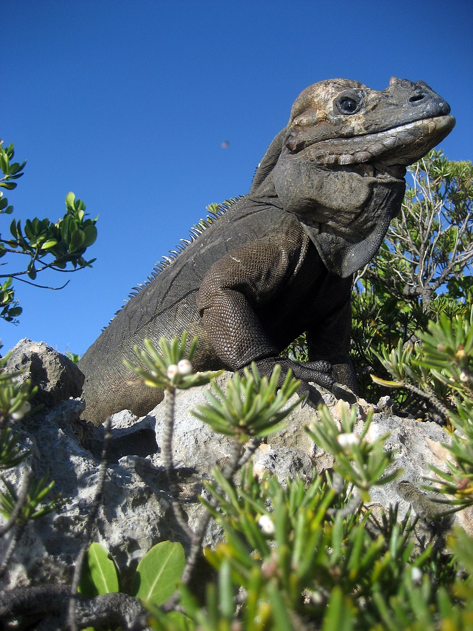 Mona ground iguana no.1