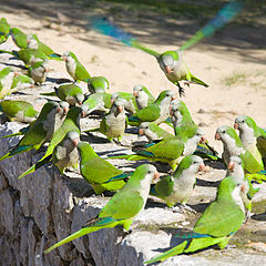 Monk Parrots
