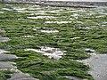 Monknash beach seaweed - panoramio.jpg