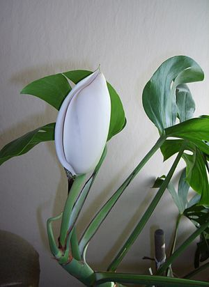 Monstera deliciosa - Image: Monstera deliciosa flower