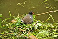 Moorhen at Fourteen Locks, Newport (9230).jpg