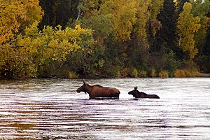 Moose crossing Deshka River.jpg