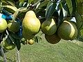 More pears, 2020 Marcali.jpg