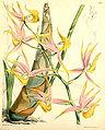 Mormodes colossus - Curtis' 96 (Ser. 3 no. 26) pl. 5840 (1870).jpg