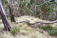 Mount Royal - eucalytus forest 2.jpg