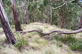 Mount Royal - eucalytus forest 2.jpg