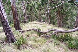 Mount Royal Range - Image: Mount Royal eucalytus forest 2