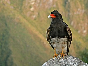 Mountain caracara - Mountain Caracara