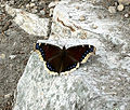 Mourning Cloak butterfly (Nymphalis antiopa) near West Overlook.jpg