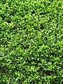 Murraya paniculata - Kolkata 2004-07-13 01772.JPG