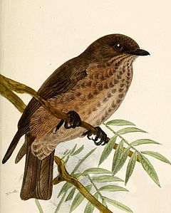 Muscicapa infuscata Keulemans.jpg