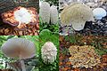 Mushroom colours makes autumn perfect enjoyable for walking in the wood - panoramio.jpg
