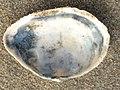 Mya arenaria 113869301.jpg