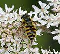 Myathropa florea - Flickr - gailhampshire (3).jpg