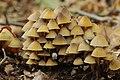 Mycena inclinata (30242271547).jpg