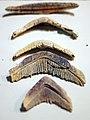 Myliobatis parts.jpg
