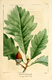 NAS-007f Quercus bicolor.png