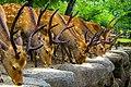 Nara Deer in a row (6080938797).jpg