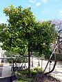 Naranjo (16661693285).jpg