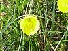 Narcissus bulbocodium bulbocodium0