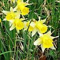 Narcissus pseudonarcissus - geograph.org.uk - 1200558.jpg