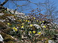 Narcissus pseudonarcissus subsp. pseudonarcissus, J. Garmendia 1172.JPG