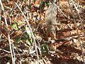 Narrow-striped Mongoose.jpg