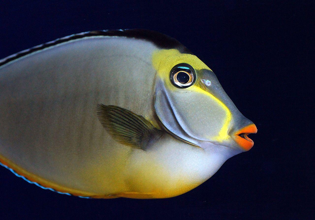 File:Naso Tang or Lipstick Tang. (11127990963).jpg - Wikimedia Commons