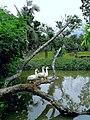Native Duck.jpg