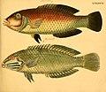 Naturgeschichte in Bildern mit erläuterndem Text (Taf. XCVI) (6058674559).jpg