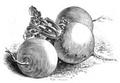 Navet jaune boule d'or Vilmorin-Andrieux 1883.png