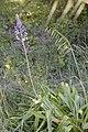 Nectaroscilla-hyacinthoides-fl-Salinelles-JohnWalsh.jpg