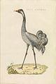 Nederlandsche vogelen (KB) - Grus grus (464b).jpg