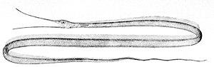 Snipe eel - Image: Nemichthys scolopaceus