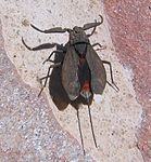Nepa cinerea with wings.jpg