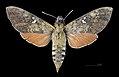 Nephele subvaria MHNT CUT 2010 0 141 Tinaroo Creek Road Queensland female dorsal.jpg