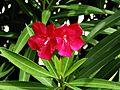 Nerium oleander (Oleandro).JPG
