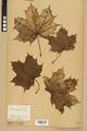 Neuchâtel Herbarium - Acer platanoides - NEU000026136.tiff