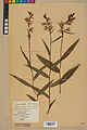 Neuchâtel Herbarium - Cephalanthera rubra - NEU000046836.jpg