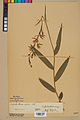Neuchâtel Herbarium - Cephalanthera rubra - NEU000046843.jpg