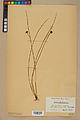 Neuchâtel Herbarium - Juncus jacquinii - NEU000044958.jpg