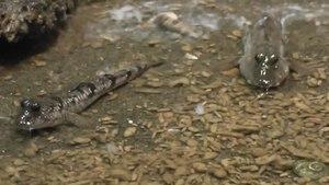 File:New Guinea mudskipper (Periophthalmus cantonensis).webm