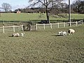 New born lambs at Redlands Farm, Horam, East Sussex. - geograph.org.uk - 1739889.jpg
