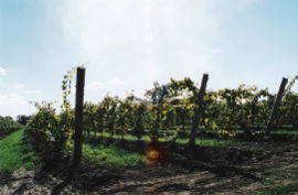 Grapes from a family vineyard near the city's west-end