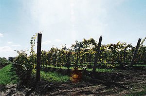 St. Catharines - Grapes from a family vineyard near the city's west-end