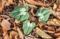 Nieuw blad van Cyclamen hederifolium tussen herfstbladeren van bomen. (d.j.b.) 03.jpg