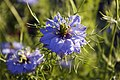 Nigella Damascena - Love in a Mist - geograph.org.uk - 1052136.jpg