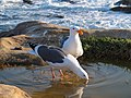 NorCal2018 Western gull at Point Lobos Monterey County S0290070.jpg